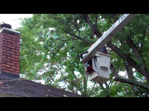 Pruning my Old Maple Tree