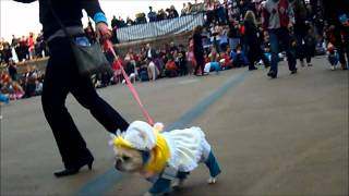 The French Bulldog Smurfs At The New York City Halloween Howl Dog Parade (short Edit)