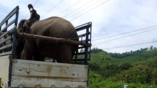 elephant transport - Laos style