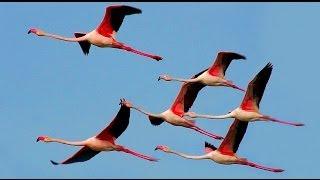 Фламинго обыкновенный или розовый. Greater Flamingo. Phoenicopterus roseus.