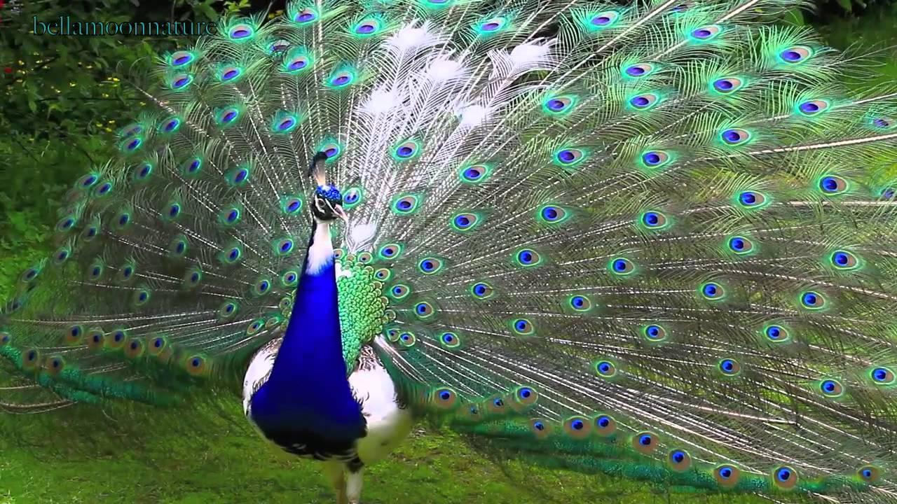 â â â Ì Ì oÌ Ì â Ì Ì eÌ Ì â pied peacock à â à youtube