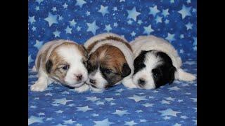 Coton Puppies For Sale - Inca 7/19/20