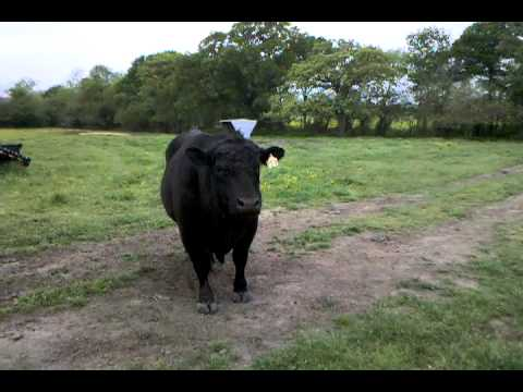Angry Bull Sounds