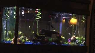 Community Aquarium 1 With Glo-fish, Neon, Minor Tetra And Dalmatian, Platy, Taxido Guppies