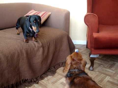 Resultado de imagen para dachshund on a sofa
