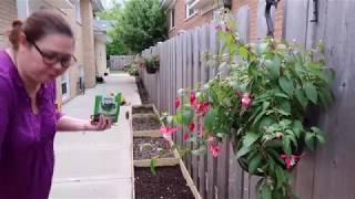 Vlog 167 ll Làm Vườn Đầu Mùa Ở Mỹ, Gieo Hạt Giống Cải Ngọt, Trồng Rau Quanh Vườn