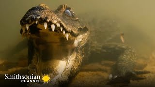 Terrifying: A Dwarf Croc Holds Its Breath Until It Attacks 🐊 Cave Crocs of Gabon   Smithsonian