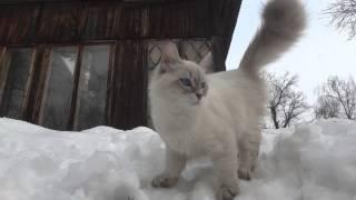 Невские маскарадные котята и кошки на снегу