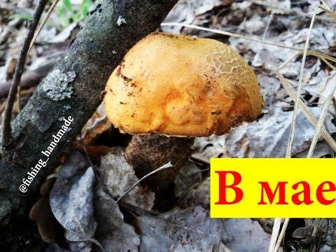 Как растут и где собирать грибы подосиновики красноголовцы в лесу