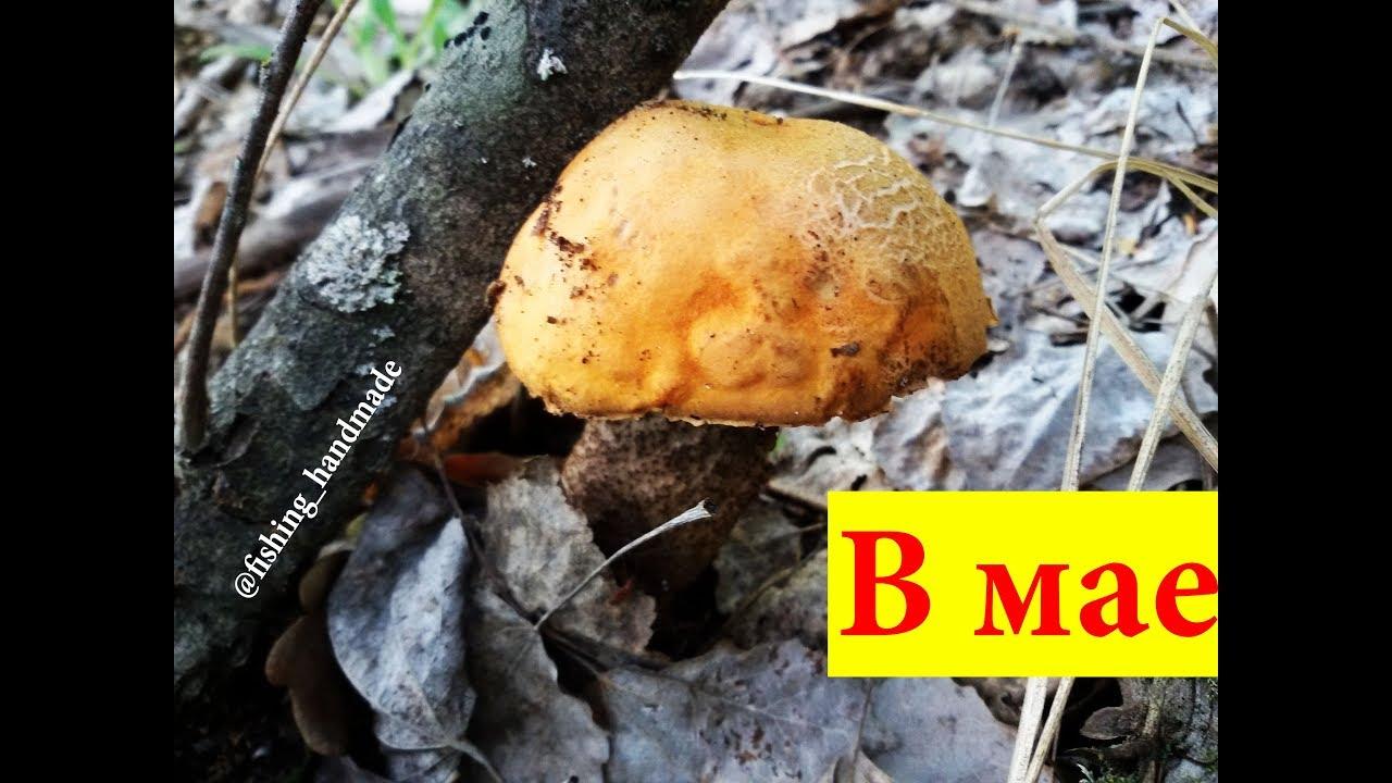 Как растут и где собирать грибы подосиновики красноголовцы ...