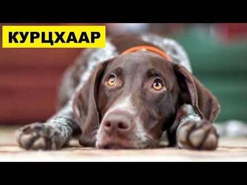 Собака Курцхаар плюсы и минусы породы | Собаководство | Порода Курцхаар