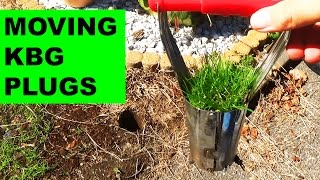 How to move Kentucky Bluegrass plugs to fill in bare spots