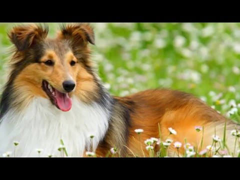 Beautiful photo Sheltie dog breed