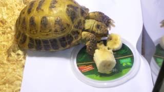 Чем кормить сухопутную черепаху ???