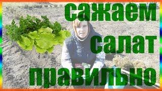 Как правильно посадить салат Сажаем салат правильно огород сад розарий цветник