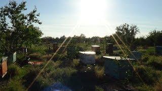 Акация и сироп - лучшие друзья 25.05.2017 пчела