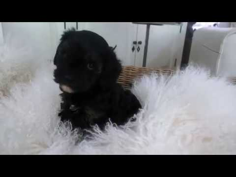 Ella's Toy Cavoodle Boy  A - Pocket Puppies 2017