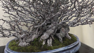 Bonsai Masterpieces Exhibition 盆栽名品展 20160109 盆景 분재 Un bonsái JAPAN thumbnail