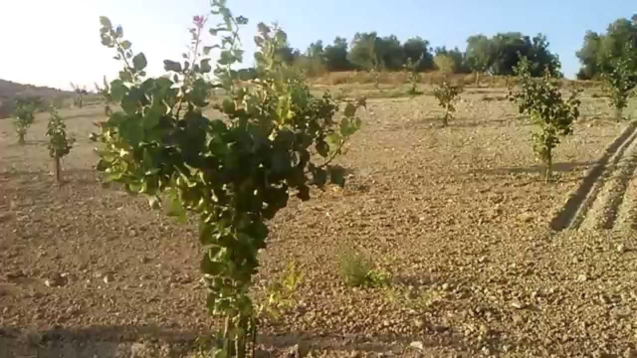 plantaci n de pistachos de 4 a os en riego youtube ForRiego Por Goteo Pistachos
