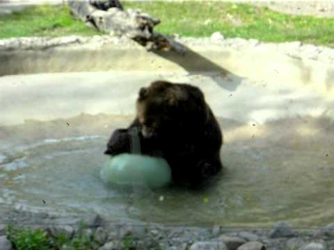 Toronto ZOO.Canadian Domain.Europe, Northern Asia and North America.Grizzly bear.
