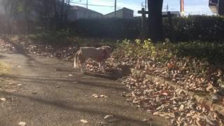 2016年12月12日に撮影した動画です 愛しいビッキーさんの 最期のお散歩...