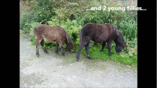 Wild Dartmoor Foals Journey to The Horse