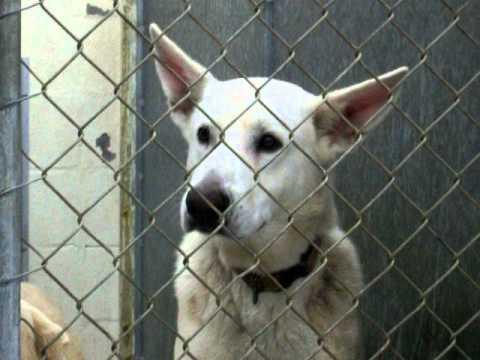 White Male German Shepherd Dog For Adoption In Louisiana
