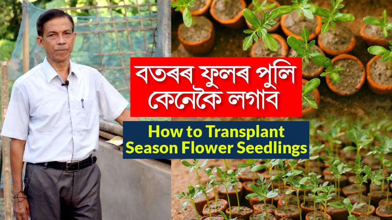 Download বতৰৰ ফুলৰ পুলি কেনেকৈ লগাব। How to Transplant Season Flower Seedlings | Parijat Nursery Jorhat