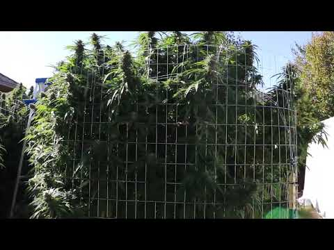 CANNABIS OUTDOOR GROW!!!! MASSIVE YIELDS!!!!