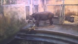 Тапир и агрессивная Игуана