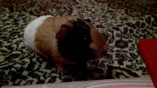 У Морской свинки хейлит Как лечить.!?