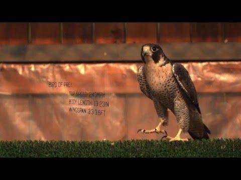 WATCH: World's Fastest Bird In Super Slow Motion