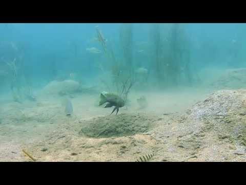 Aulonocranus and oreochromis interaction - Lake Tanganyika