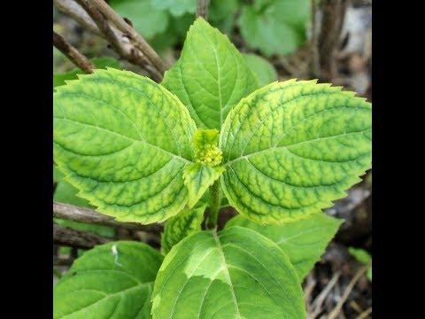 Пожелтение листьев на гортензиях. Хлороз. Как исправить? Часть 2