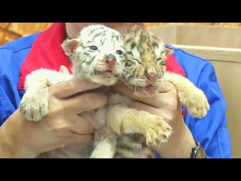 The Morning Madhouse - These Tiger Cubs Were Abandoned by Their Mother