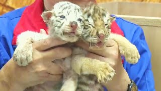 these-tiger-cubs-were-abandoned-by-their-mother