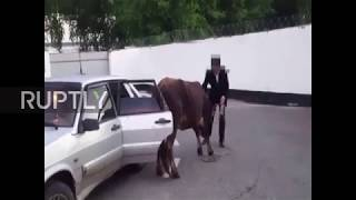 Traffic police not aMOOsed as they discover COW in back of car