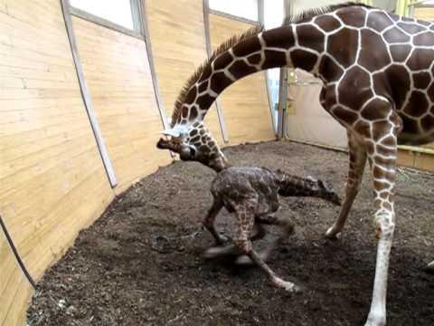 Eerste stapjes baby girafje Jani /  Baby giraffe Jani's first steps - Rotterdam Zoo
