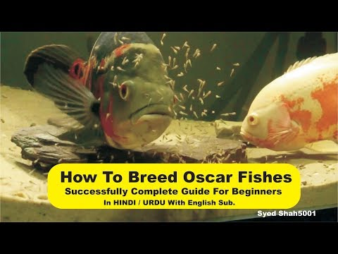 How To Breed Oscar Succesfully Full Guide Beginners Urdu Hindi English Sub #Oscarbreeding