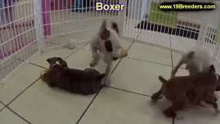 Boxer, Puppies, For, Sale, In, New Orleans, Louisiana, La, Jefferson, Bayou Blue, Moss Bluff, Woodme