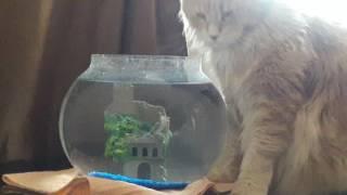 Кот выпивает аквариум