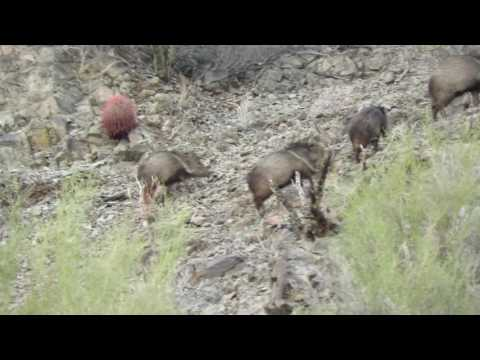 Javelina in LaPaz County, AZ