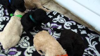 Two Week Old Standard Poodle Puppies Learning To Play.
