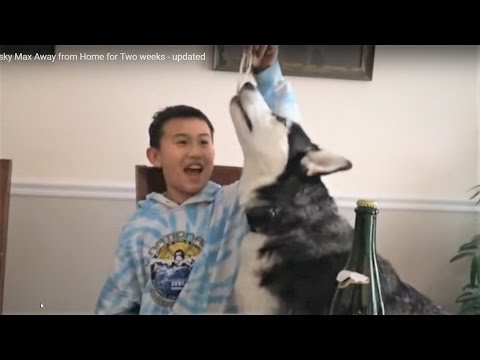 Cute Siberian Husky Max Away from Home for Two weeks - updated