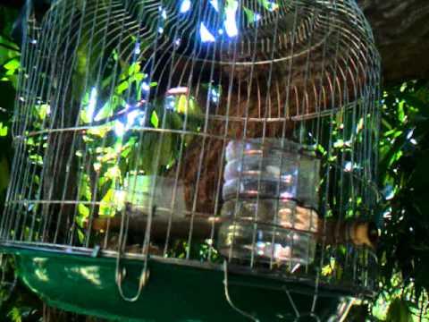 Chim cu gáy hay ở Hà Nội
