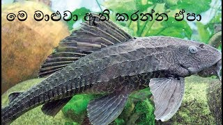 Tank Cleaner Fish