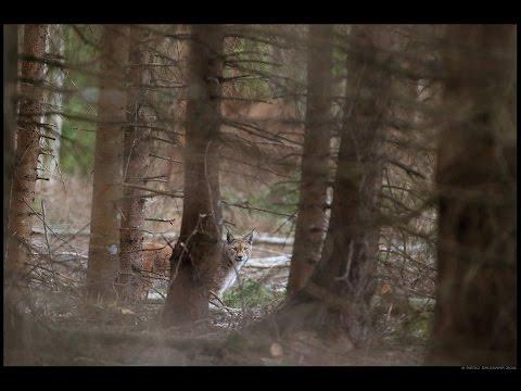 Lynx life in Estonian forest