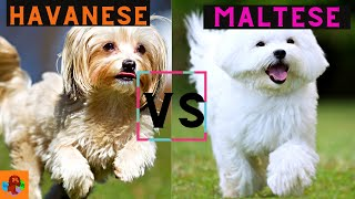 Havanese Dog vs Maltese Dog  Which one should you choose? (Breed Comparison)!
