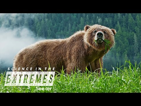 Capturing and Tracking Wild Grizzly Bears in Yellowstone