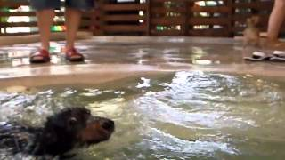 Dachshund Puppy Swimming In Pool